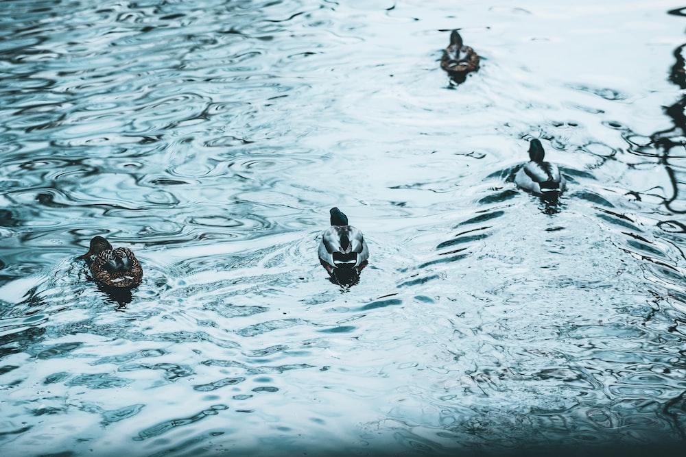 several mallard ducks on body of water