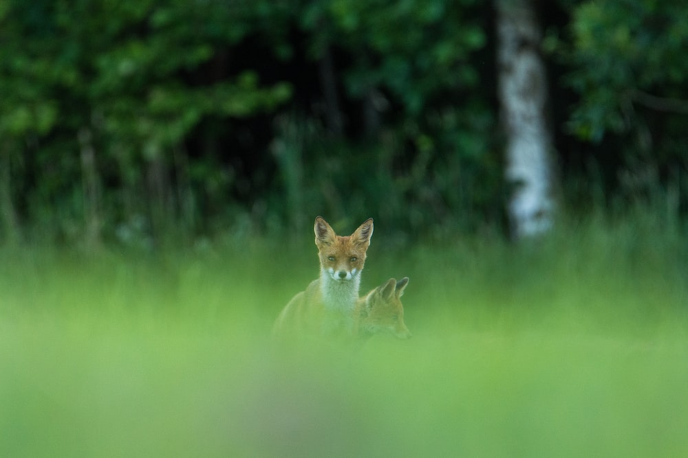 brown fox on grasses