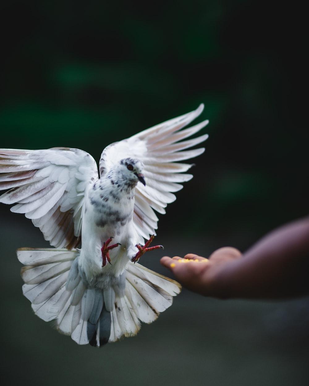 rock dove flying beside hand