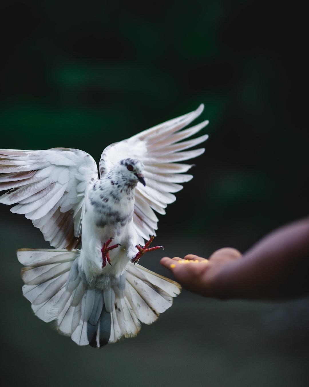 Kalsara pigeon