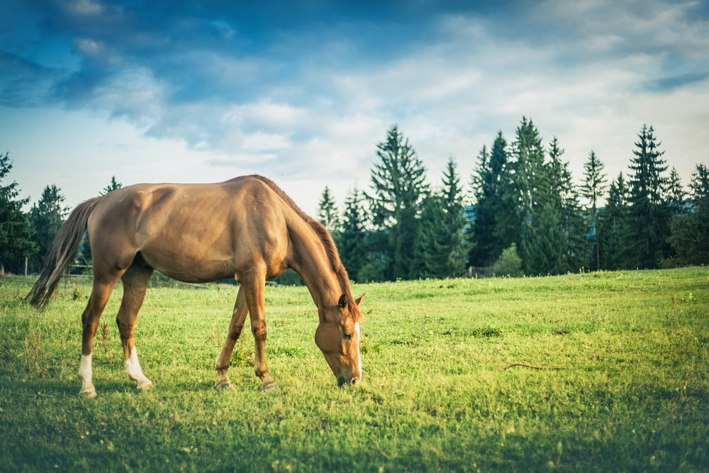 brown and white horse on lawn eating grass at daytime