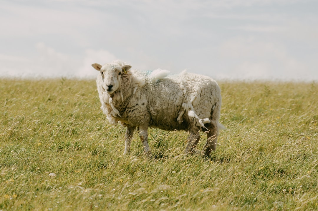 The sheep in Brighton - SEVEN SISTERS