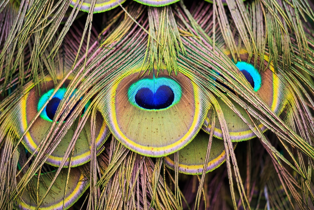 close-up photo of peacock feather