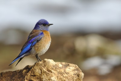 focused photo of blue and brown bird on the stone bird teams background