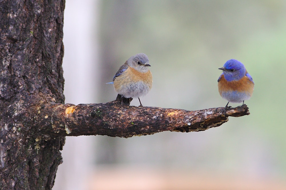two blue bird perched on tree trunk