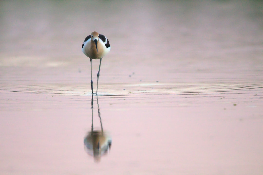 American avocet in a pinky sunset at the riparian reserve of water ranch, Mesa, AZ. This reserve is composed of different spot where you can peacefully admire the wildlife, mainly birds.