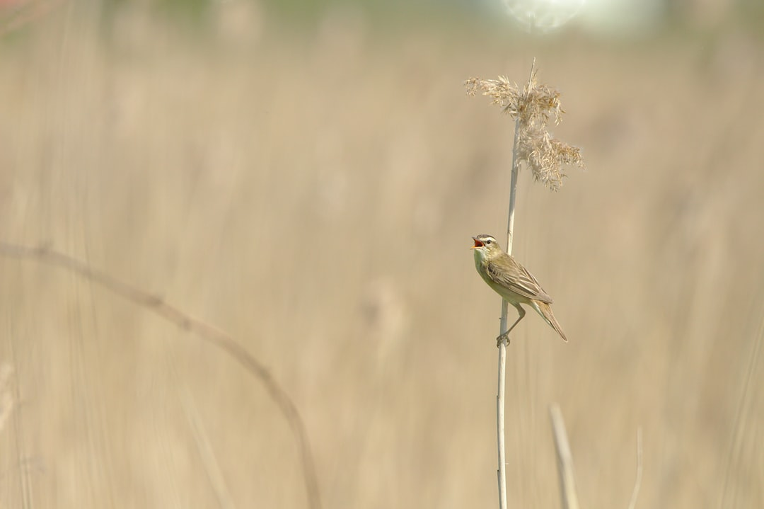 Sedge Warbler (Acrocephalus schoenobaenus) singing in reeds in Seine estuary, Normandy, France.