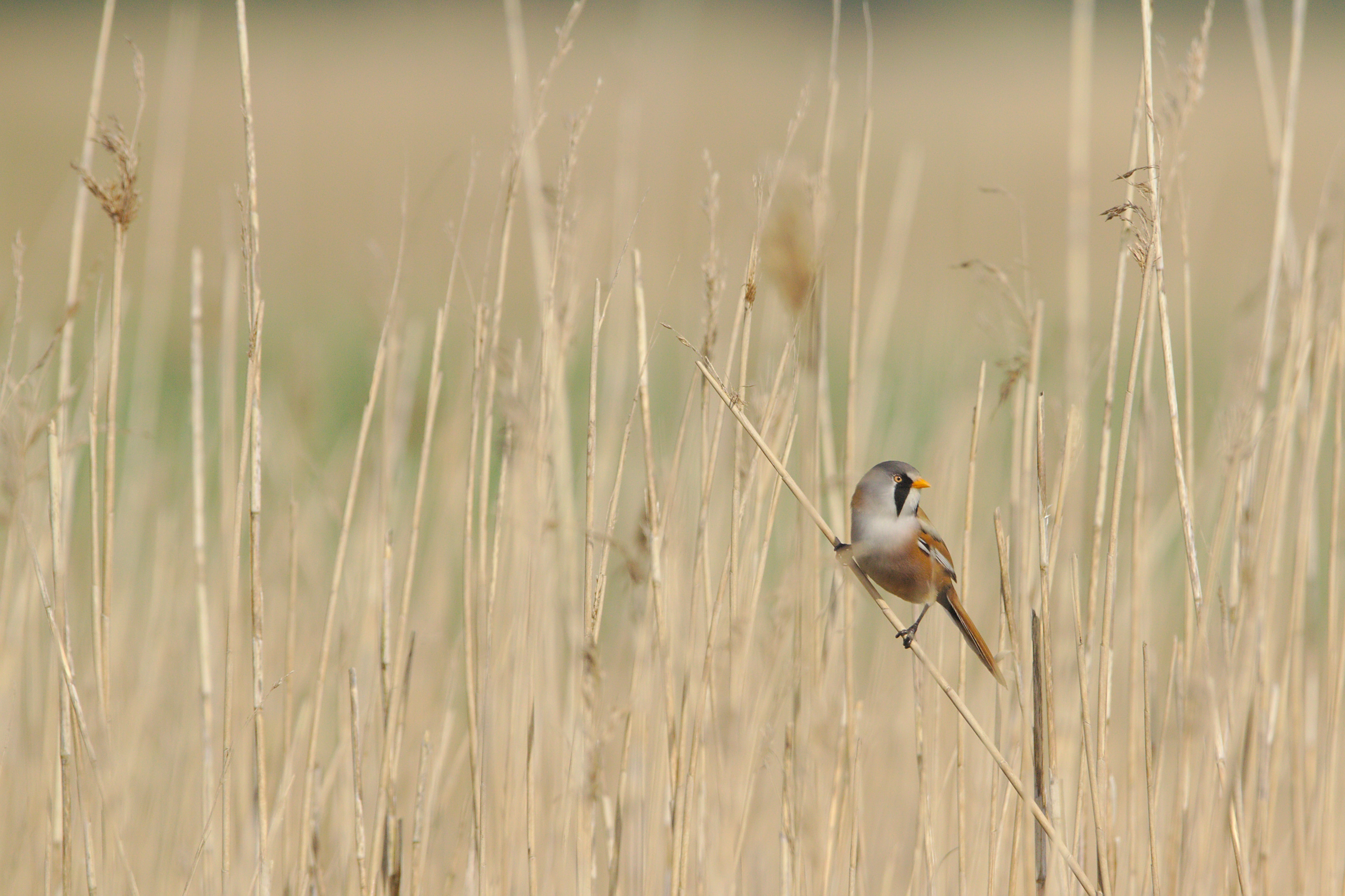 brown and gray bird on brown grass