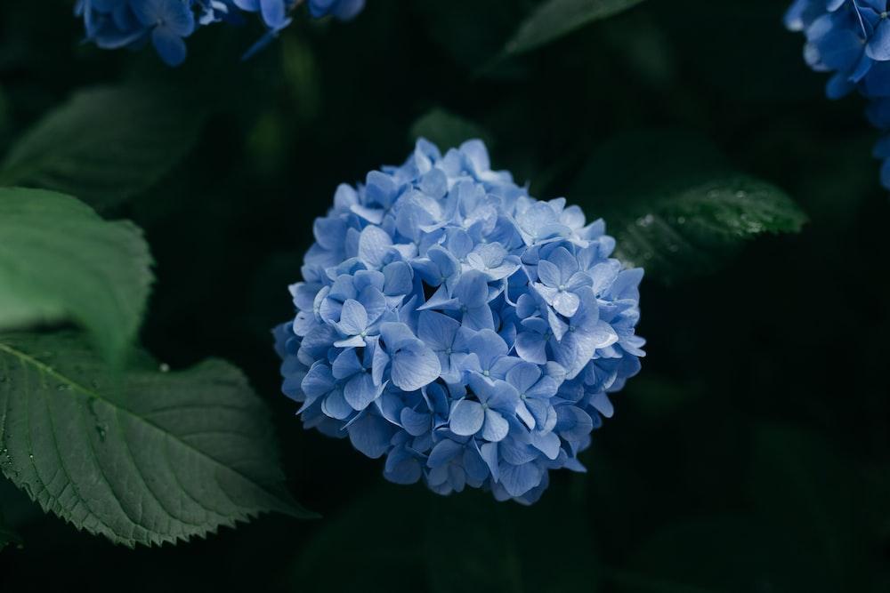 blue cluster flower
