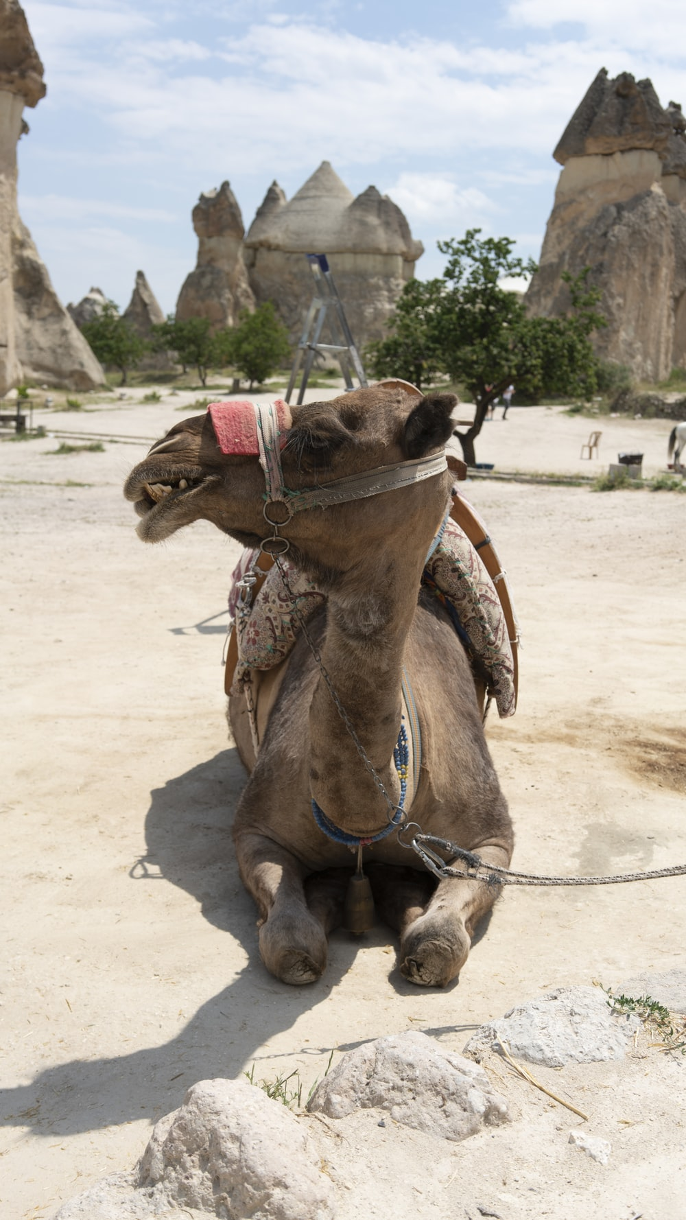 camel lying on concrete floor while looking sideways