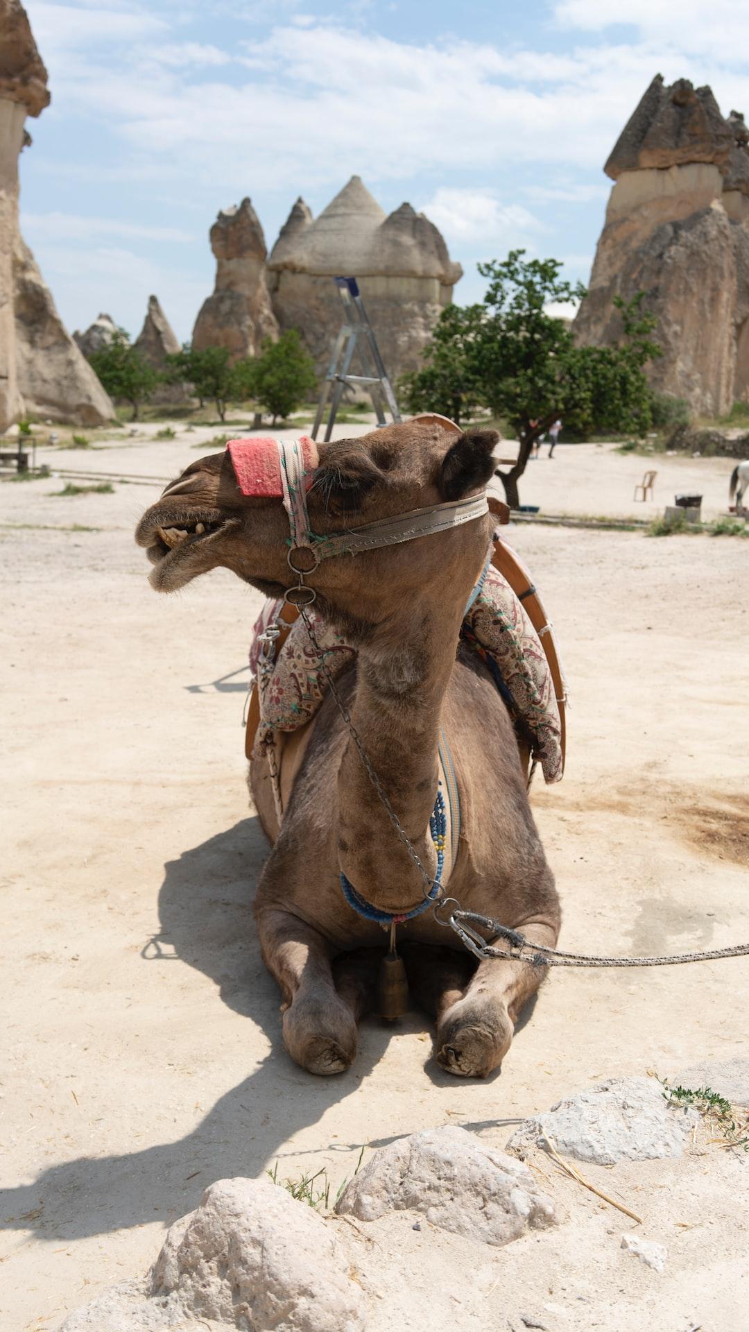 Camel in Goreme