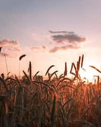 Unique Information on Grain  grain stories
