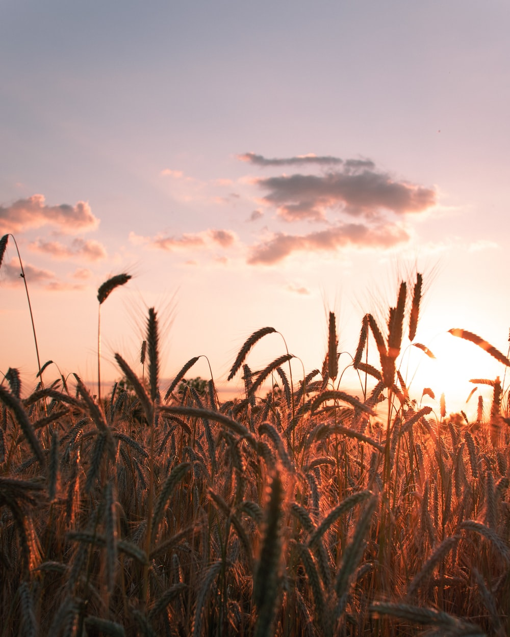 corn fields during golden hour