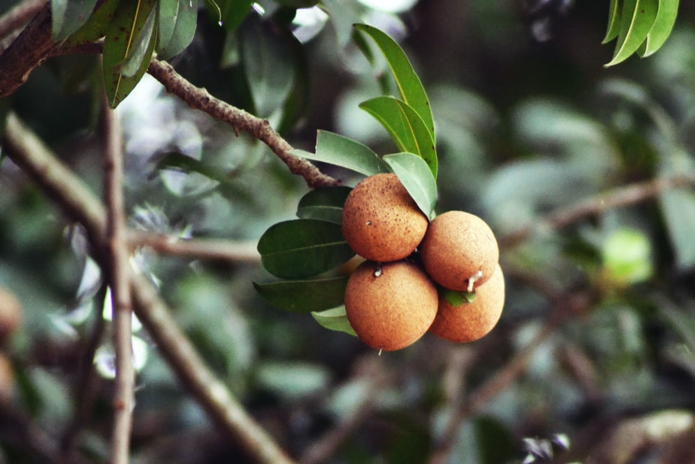 selective focus photography of round brown fruits
