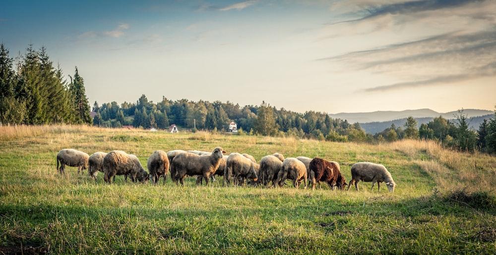 herd of sheep eating grass