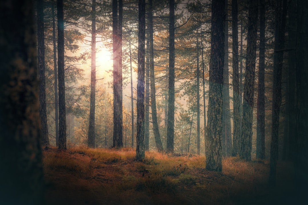 Sunrays through the pine forest