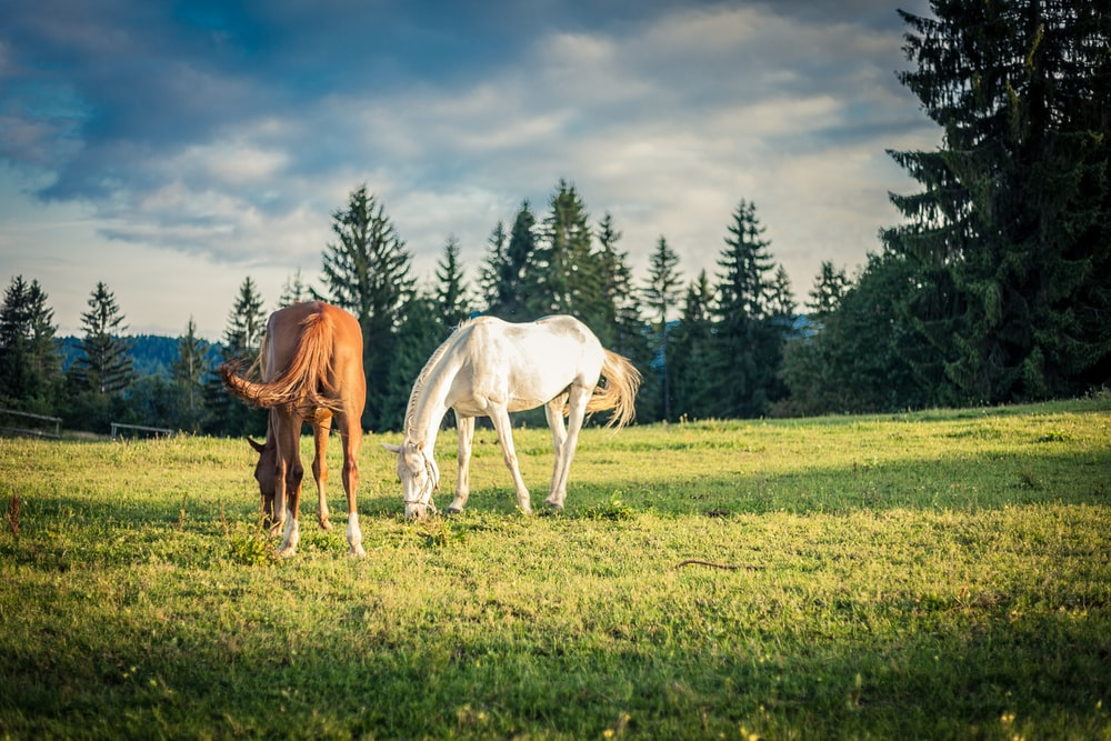 two brown and white horses on grass near trees