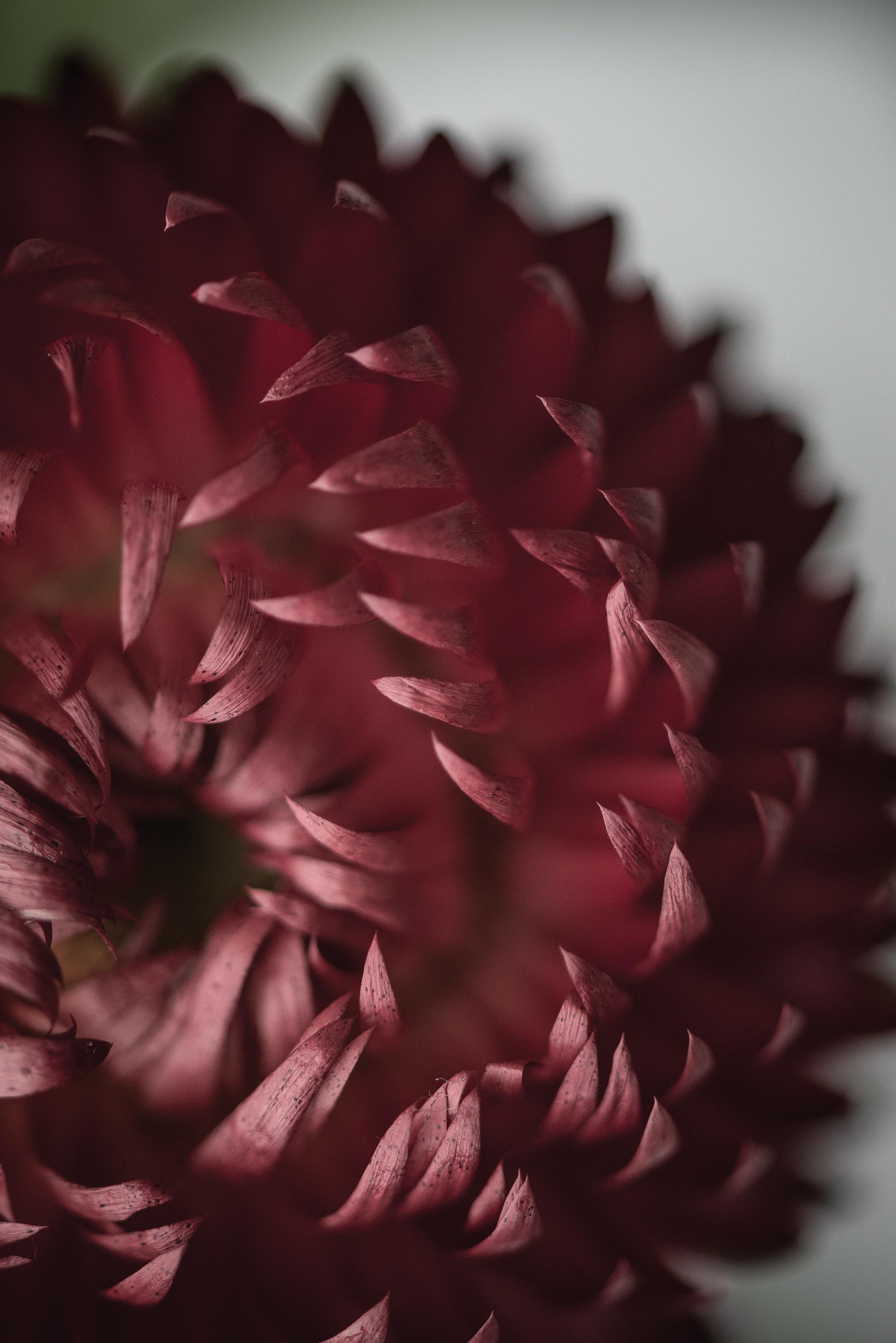 tilt shift lens photography of red flower petal