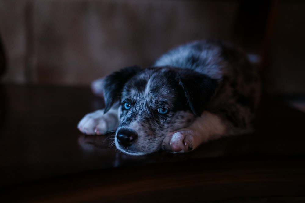 selective focus photo of white and black puppy lying on floor