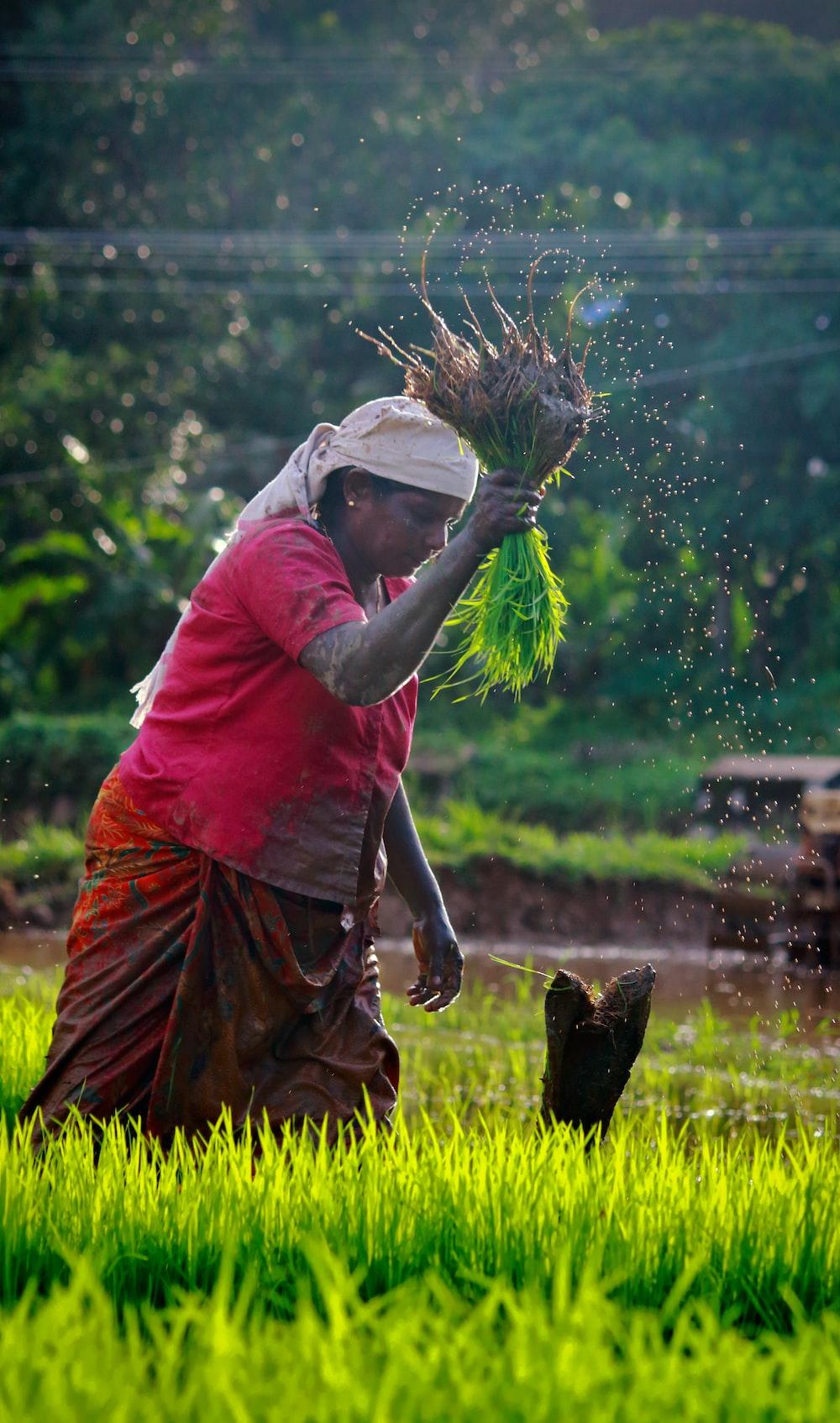 woman harvesting rice