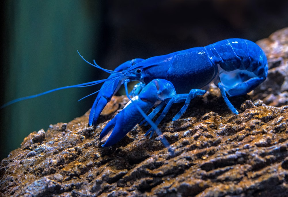 blue lobster on rock