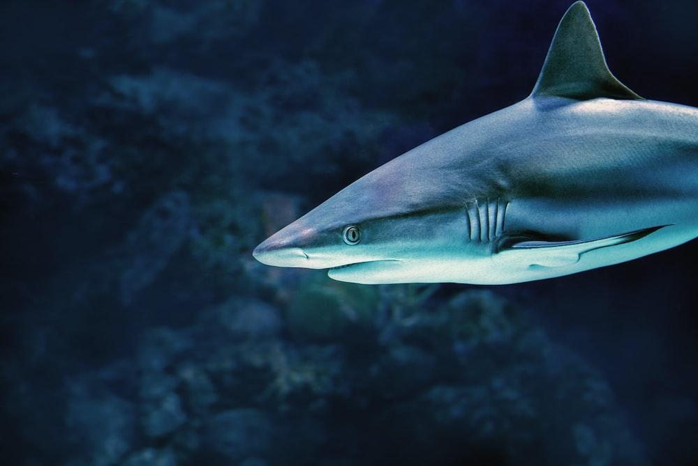 gray shark under water