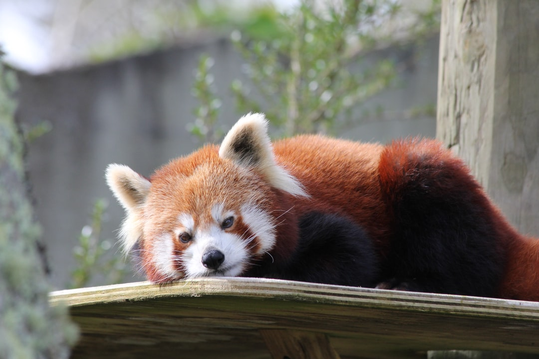 My favourite animal at the zoo, the adorable red panda. Notorious for hiding in the branches, this one decided to sun himself (herself) on the ledge.