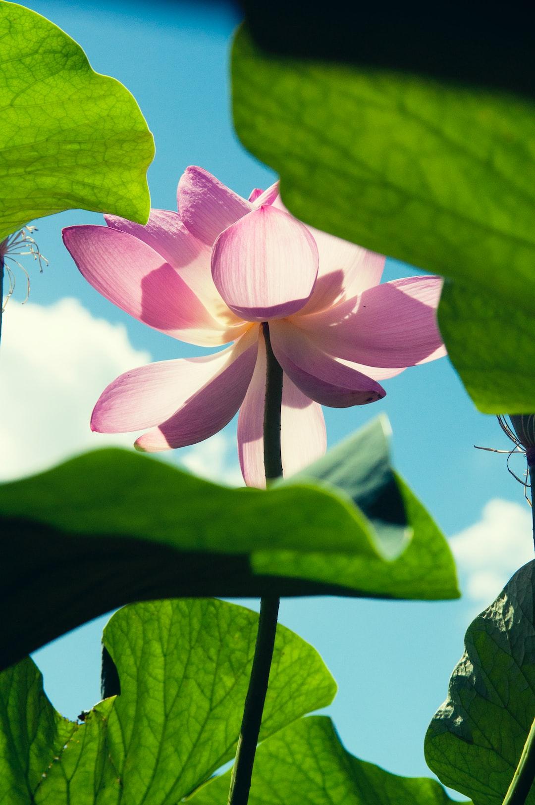 27 Lotus Pictures Download Free Images On Unsplash