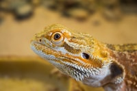 yellow and brown bearded dragon
