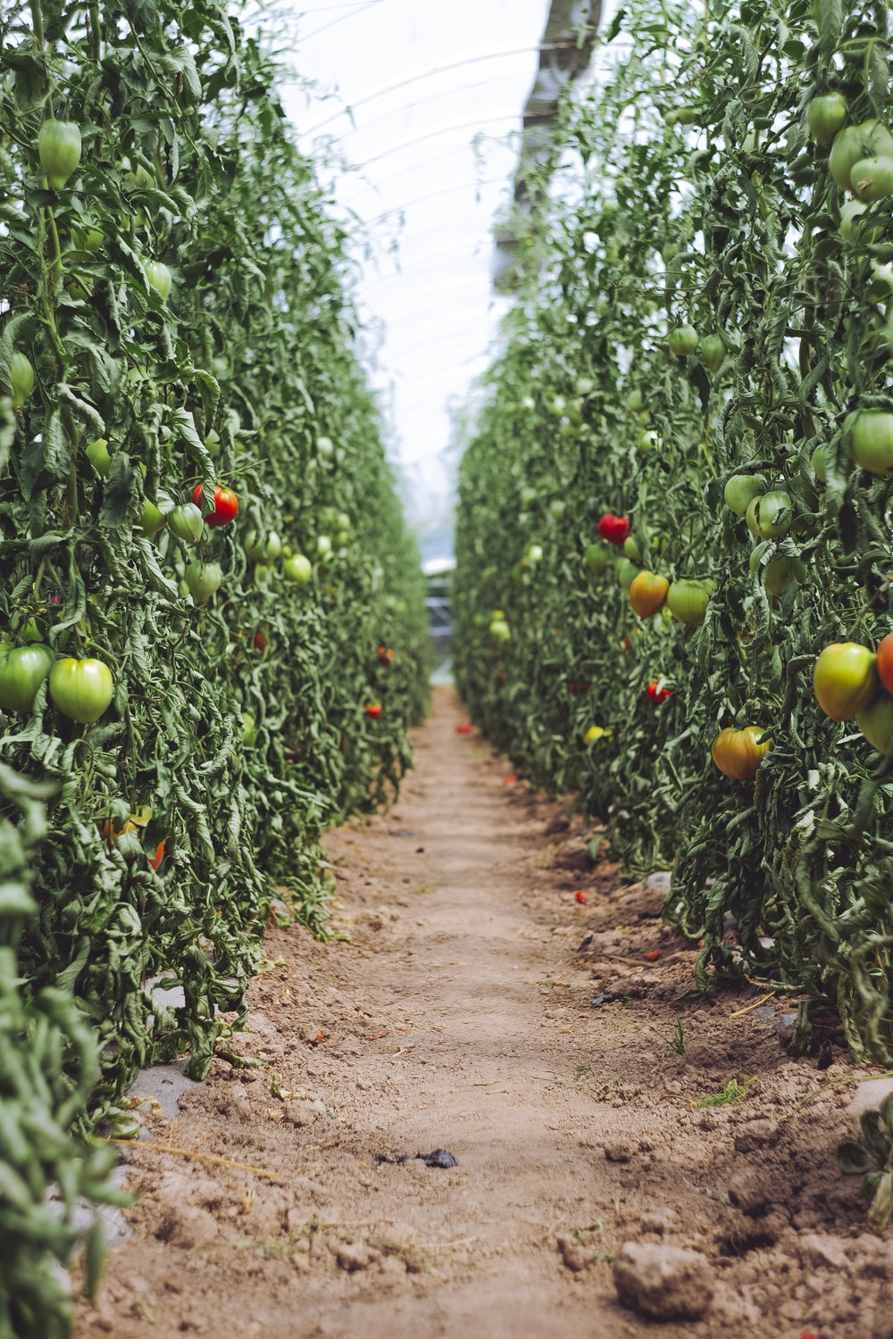 selective focus photography of pathway between tomato plants