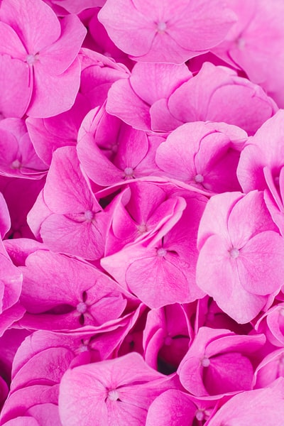 person showing pink flowers