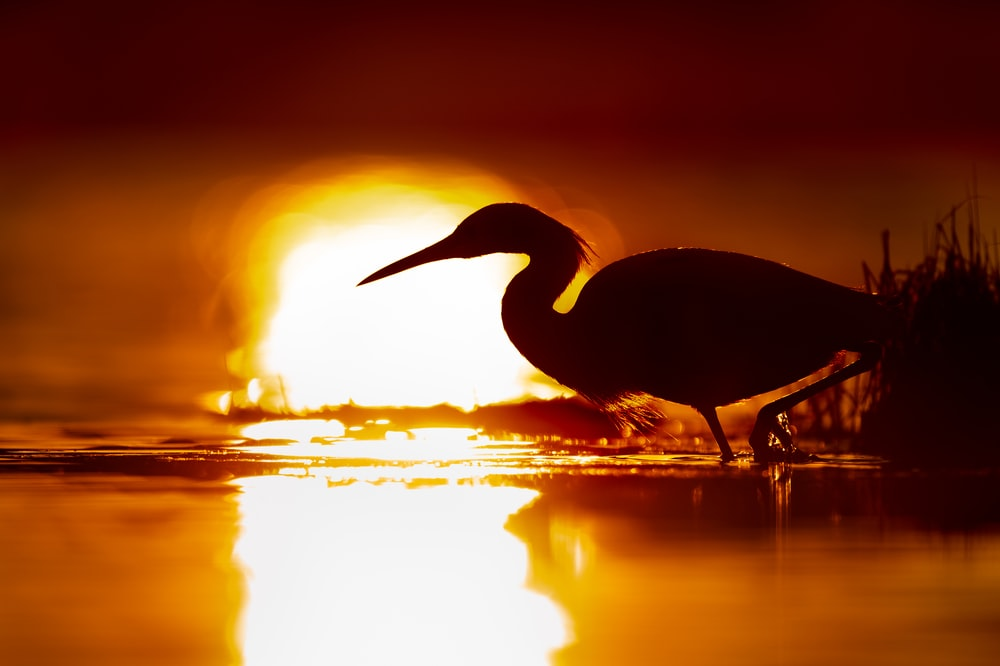 silhouette of flamingo during sunset