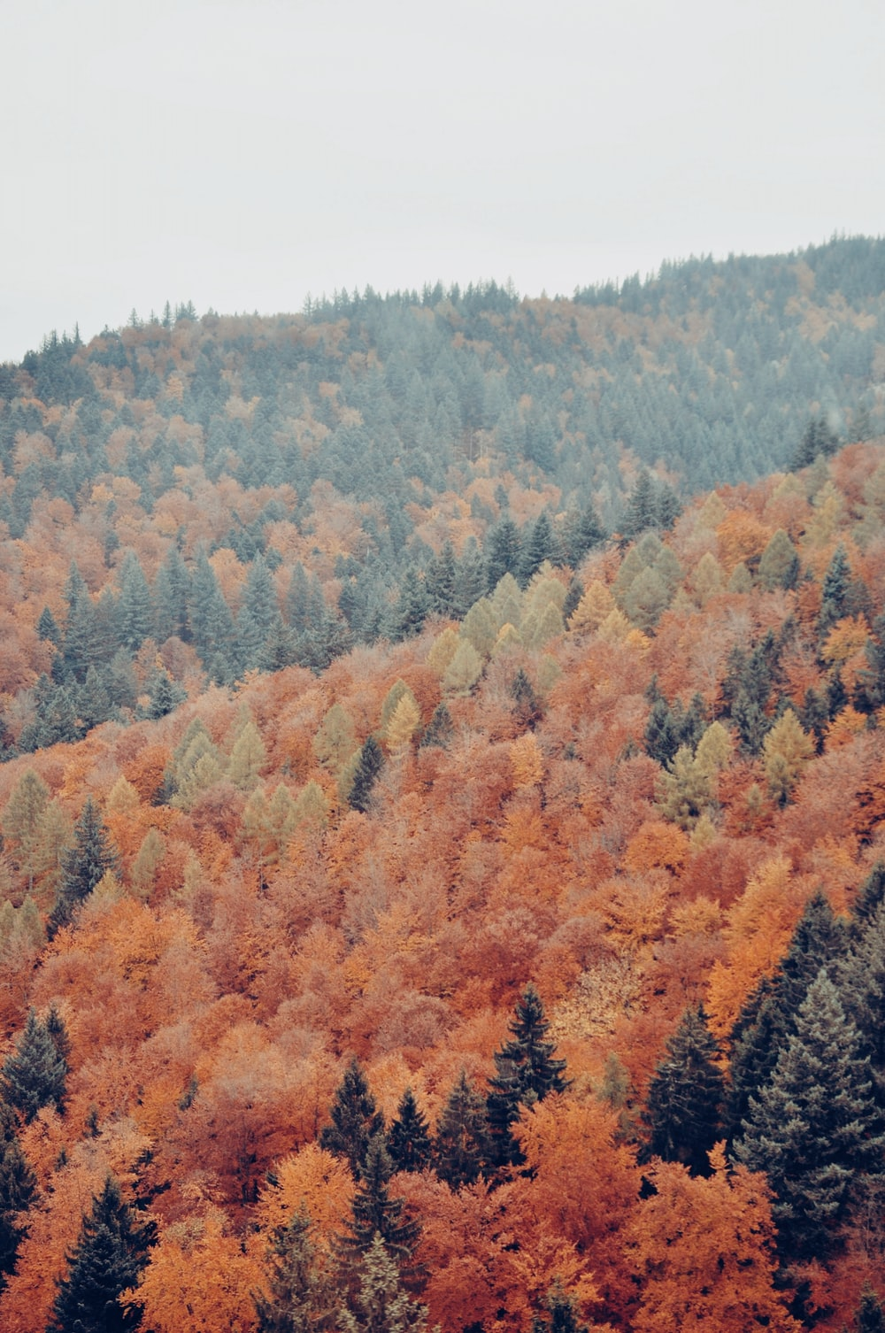 autumn pine trees in aerial view