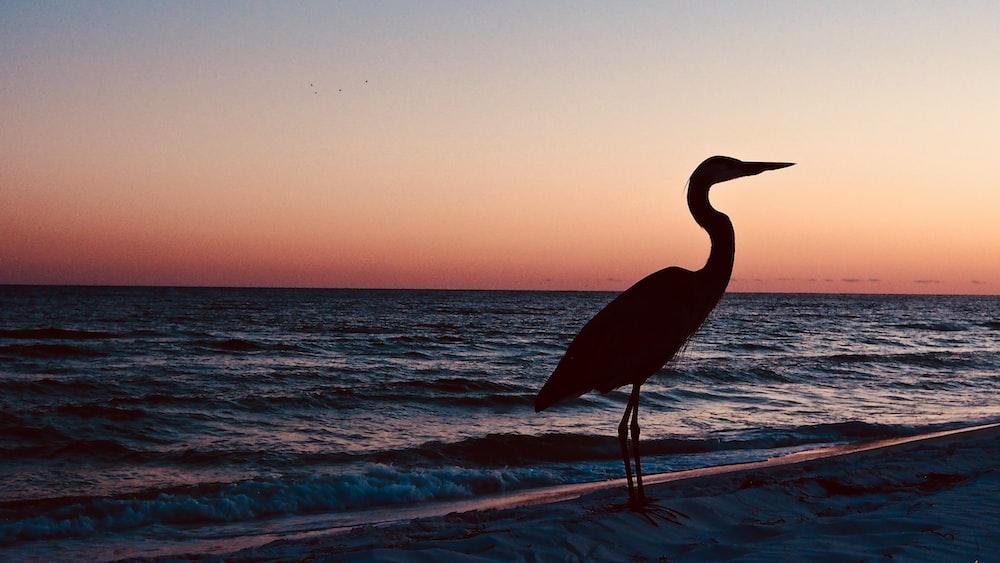 crane bird standing near seashore during sunset