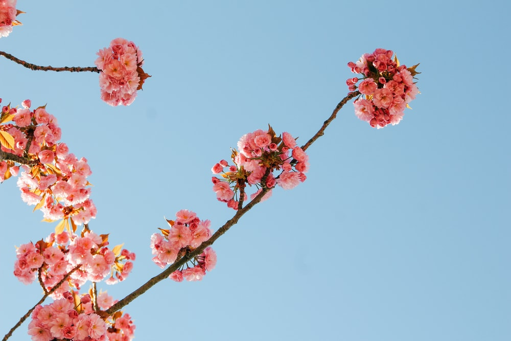 pink Cherry Blossom tree leaves