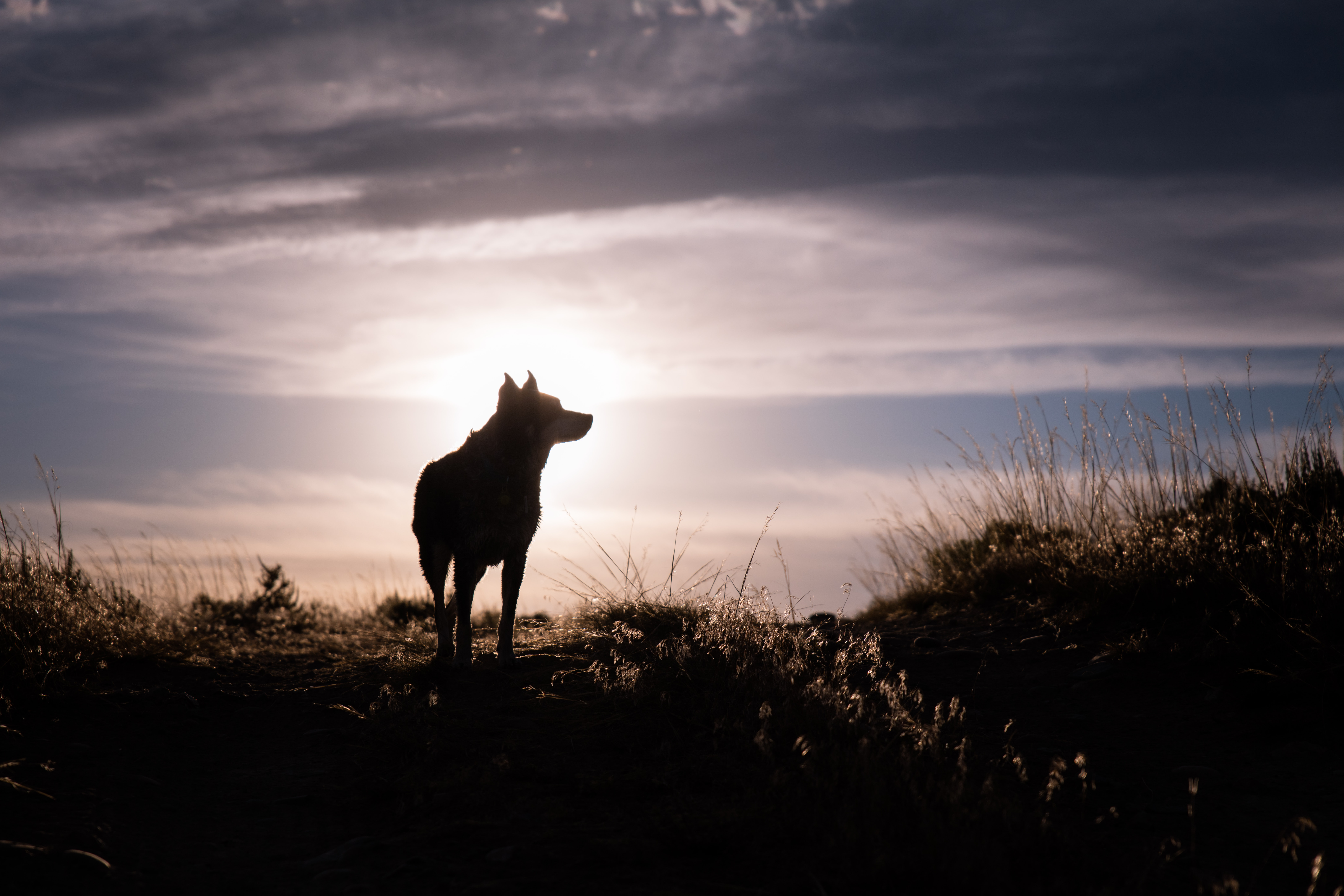 silhouette of a wolf during sunrise