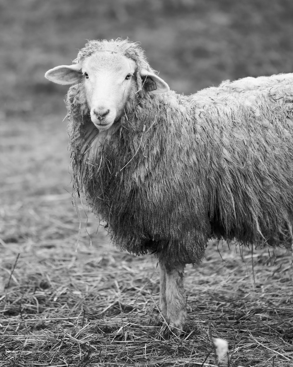 selective focus grayscale photography of lamb
