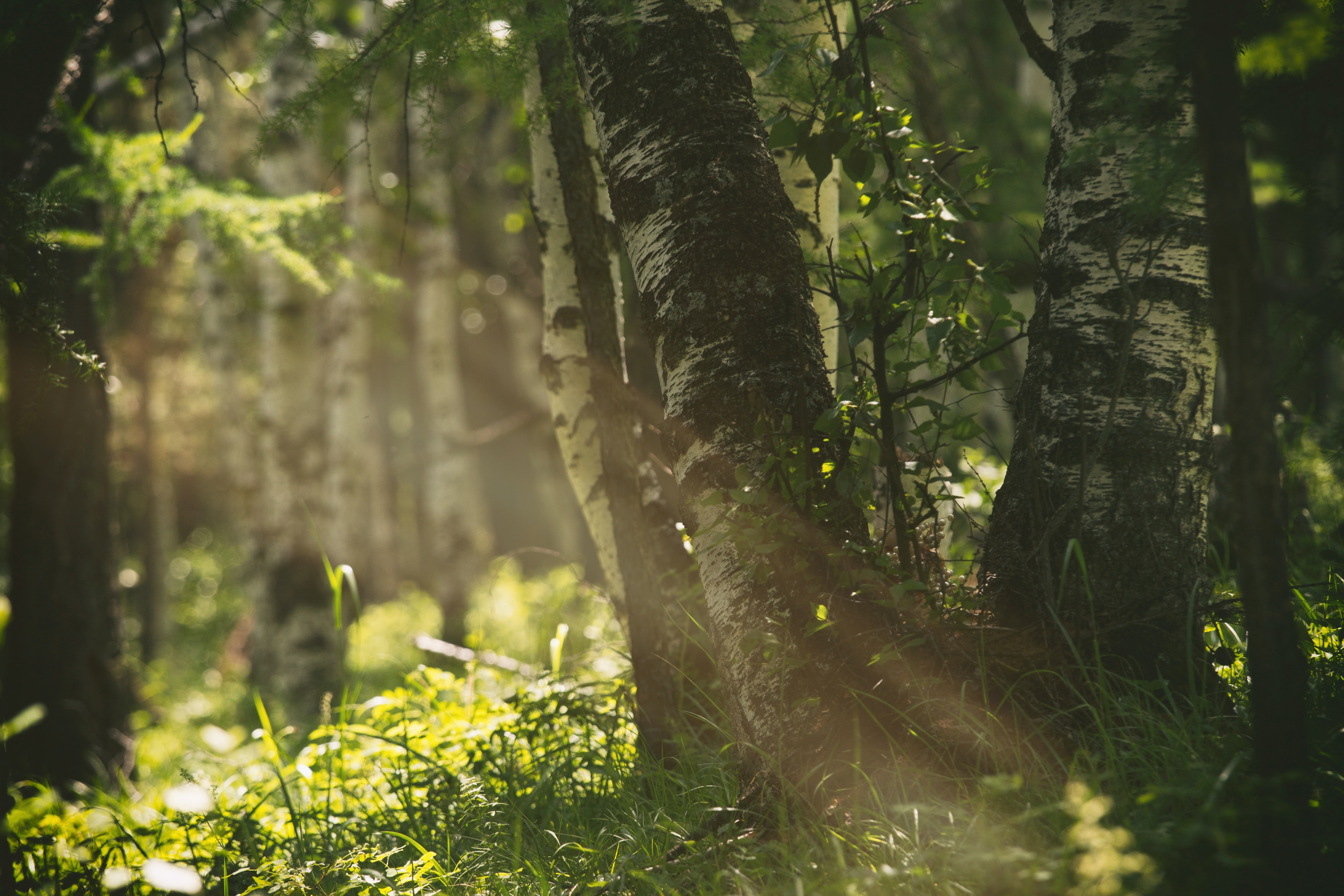 sun rays passing through forest tree