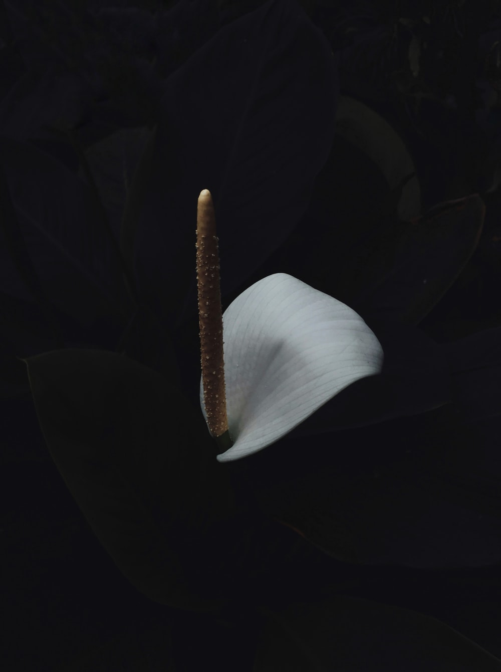 white anthurium with black background