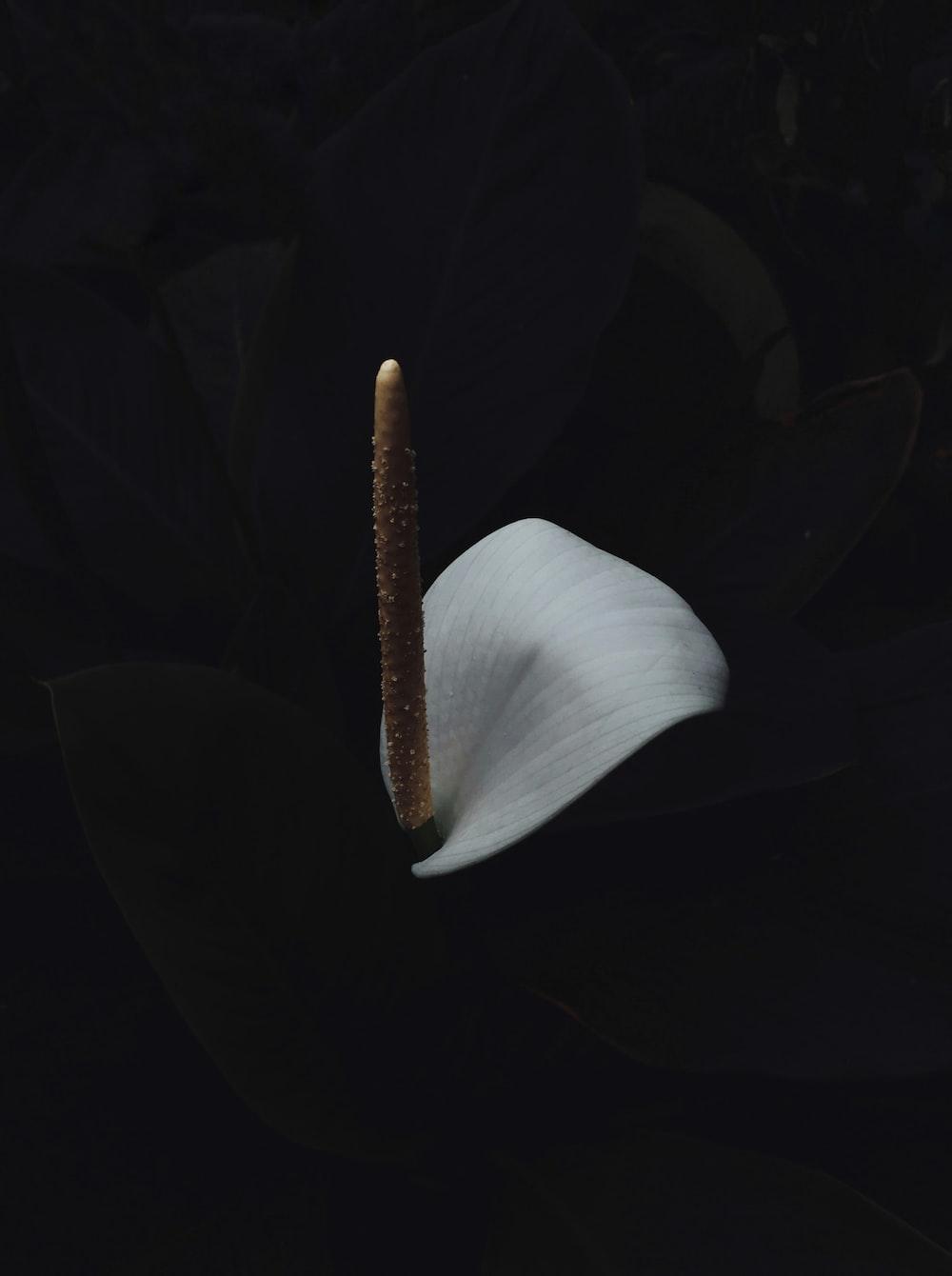 white anthurium with black background