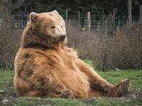 bears