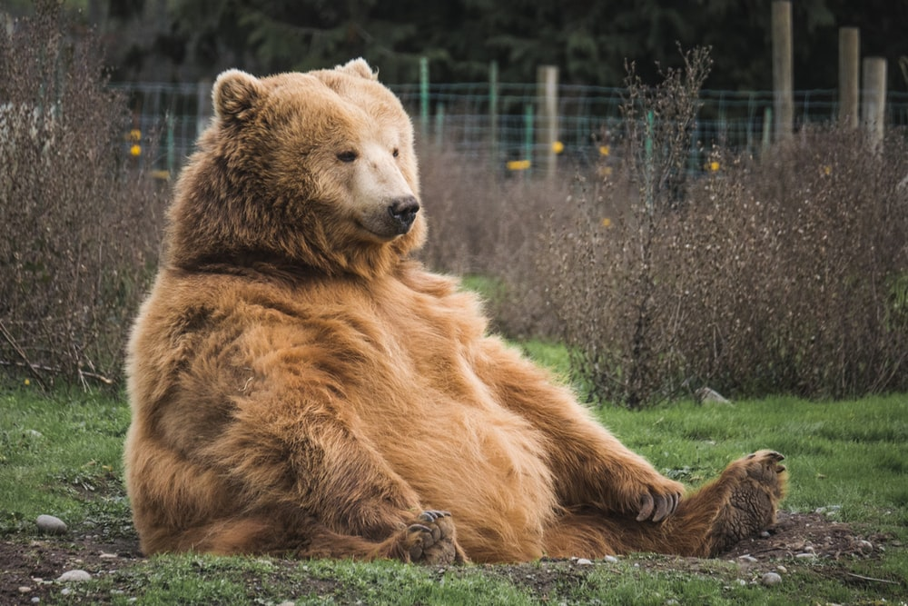 brown bear sitting on grass field