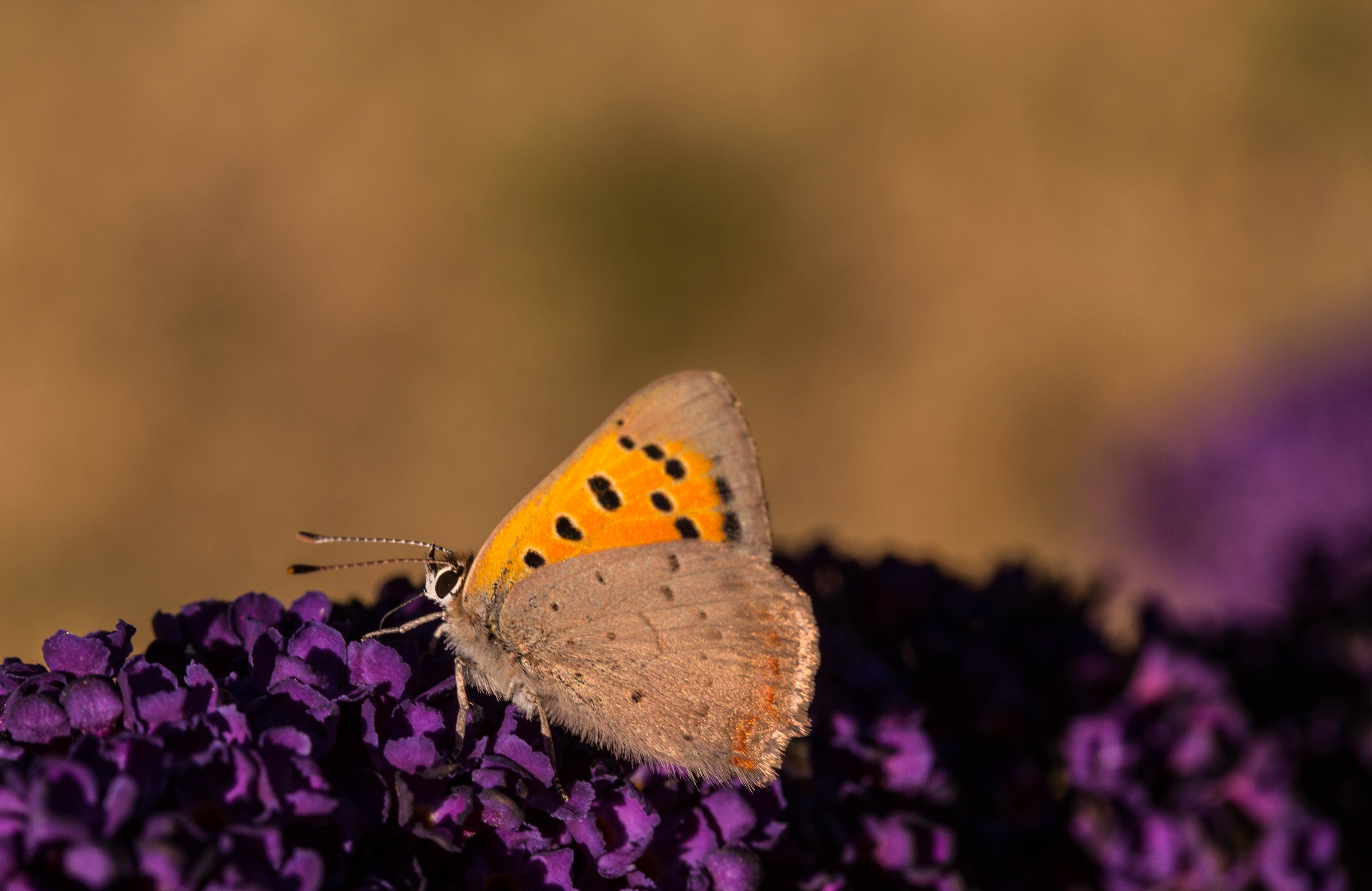 selective focus photography of orange and beige butterfly on purple flowers