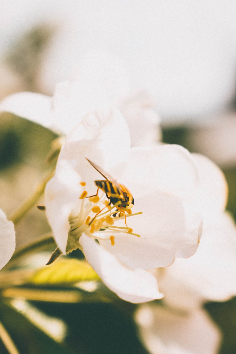 bumblebee on white petal flower