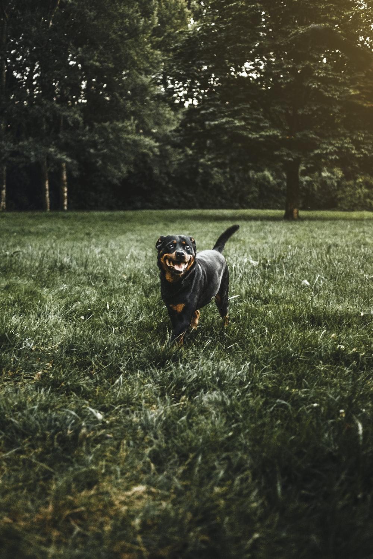rottweiler on grass field