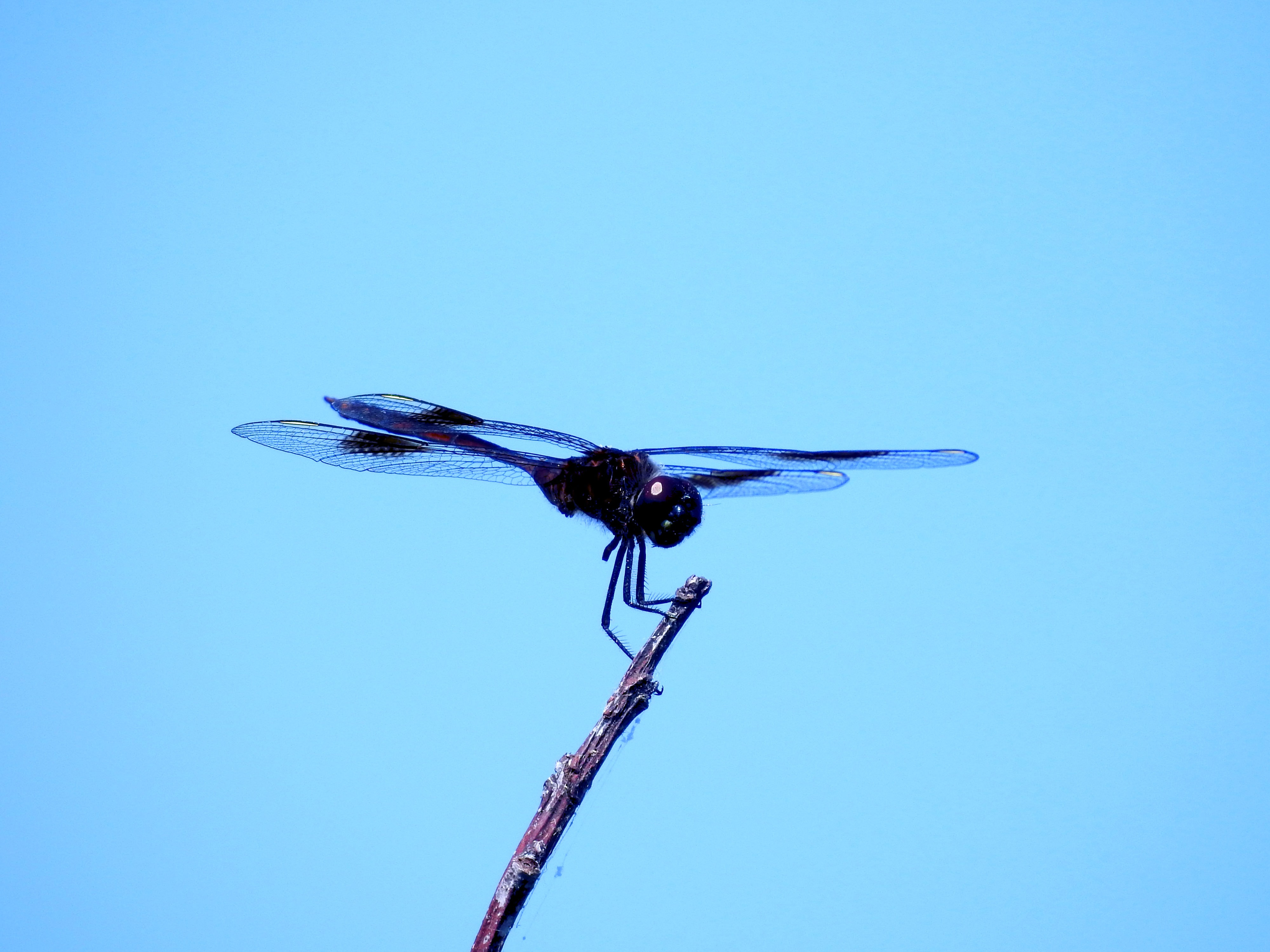 macro photography of black dragonfly