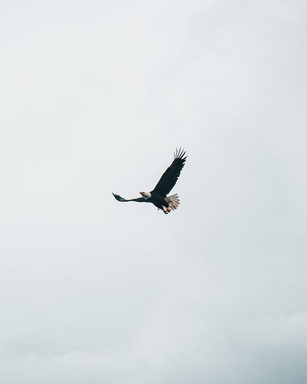 flying bald eagle during daytime