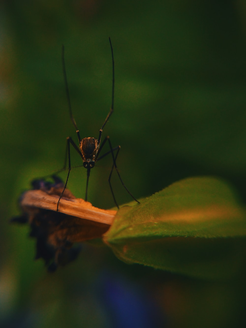 macro photography of mosquito