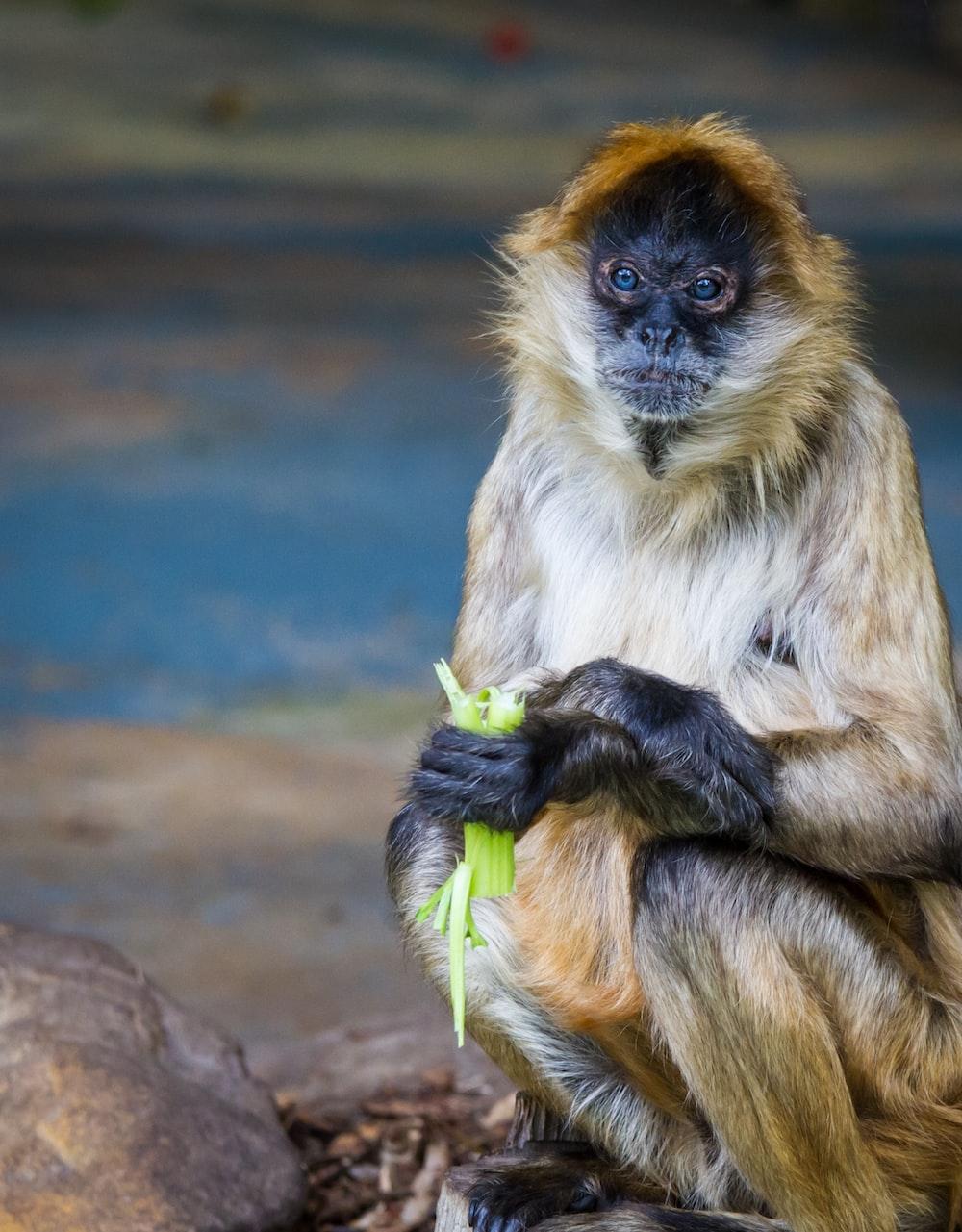 brown monkey eating vegetable