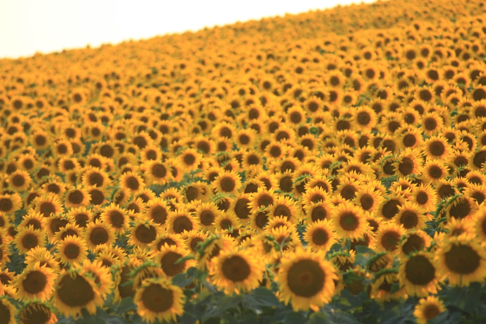 sunflower field during daytime